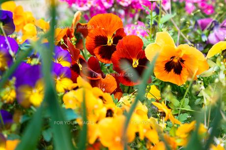 パンジーの花畑 FYI00582971