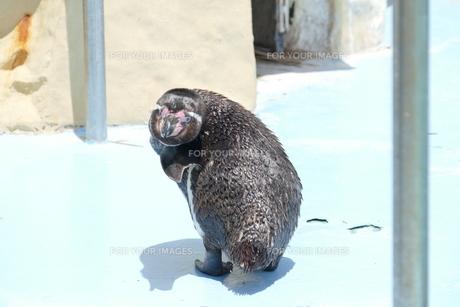 ペンギン FYI00589556