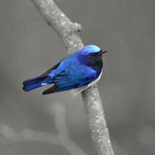 青い鳥 FYI00591576