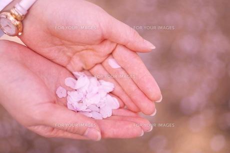 桜の花びら FYI00593969
