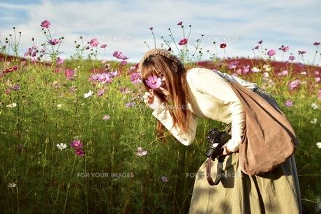 コスモス畑と女の子 FYI00593972