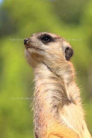 ミーアキャット 瞳がキラキラ Fyi00605128 気軽に使える写真