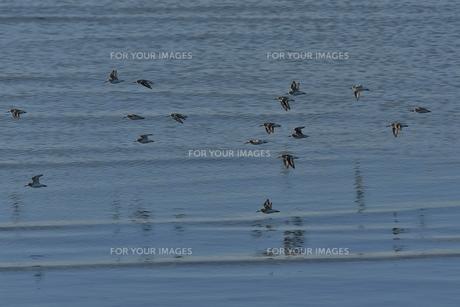 海岸を飛ぶハマシギの群れ FYI00613538