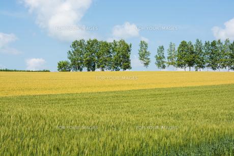 二色に色づいたムギ畑とシラカバ並木 FYI00619291