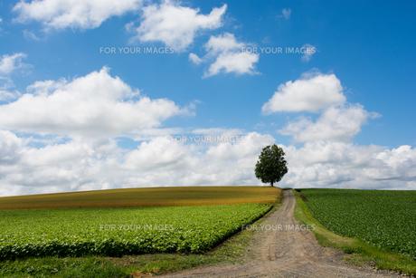 畑の中を通る砂利道と夏の空 FYI00619297