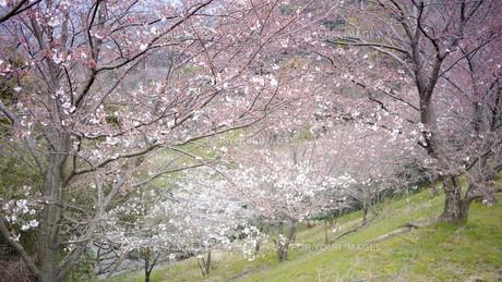 桜 FYI00619357