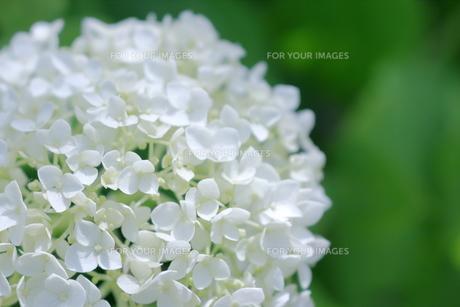 紫陽花 FYI00619710