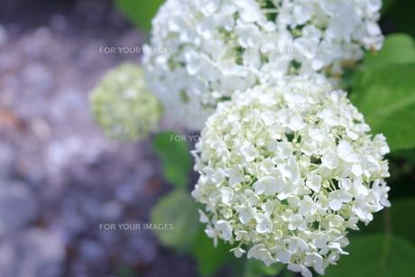 紫陽花 FYI00619712