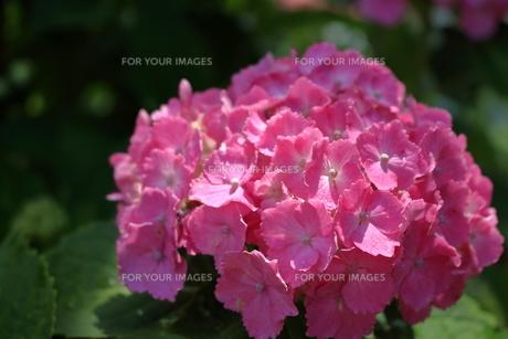 ピンク色のあじさい FYI00620624