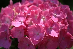 ピンク色のあじさい FYI00620625