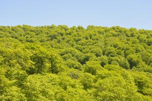 ブナ林の新緑 FYI00622223