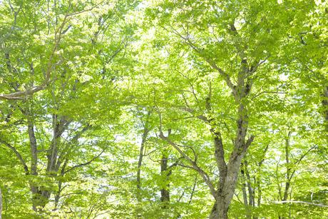 ブナ林の新緑 FYI00622228