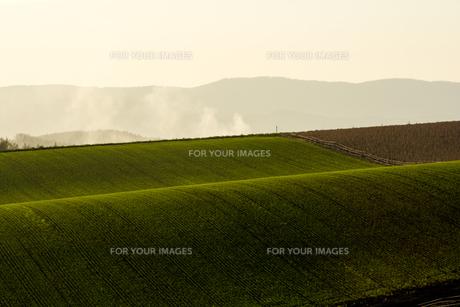 夕日に輝く秋の麦畑 FYI00622530