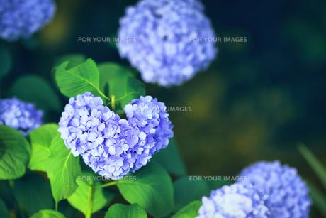 紫陽花(ハート) FYI00624523