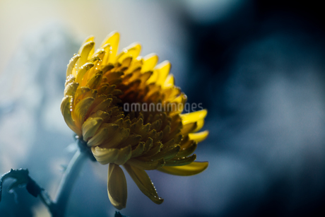 雨に濡れた黄色い菊 FYI00633378