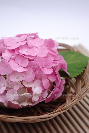 ピンク色のアジサイの和風アレンジメント FYI00655849