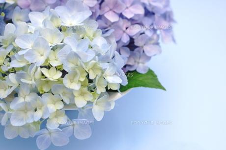 紫陽花のフラワーアレンジメント FYI00655870