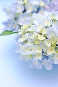紫陽花のフラワーアレンジメント FYI00655871