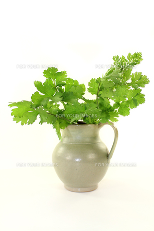 coriander FYI00657677