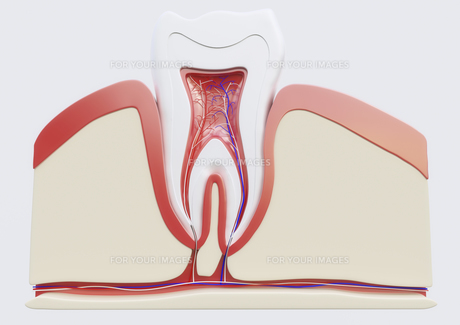 anatomy of a molar in sectionの素材 [FYI00663376]