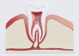 anatomy of a molar in section FYI00663376
