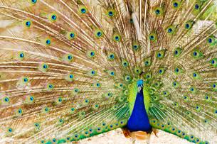 Peacock,Peacock FYI00663482
