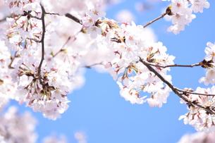 桜と青空 FYI00664673