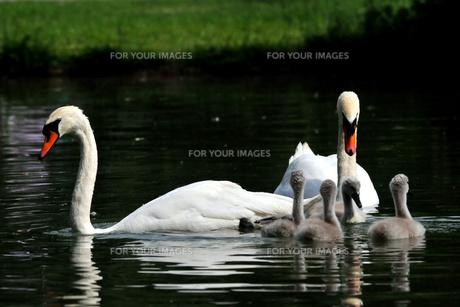 swan family in creek FYI00665620