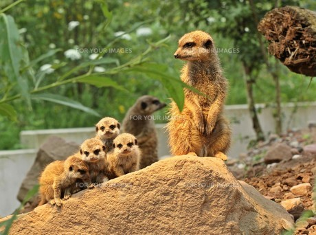 meerkat with junior FYI00685950