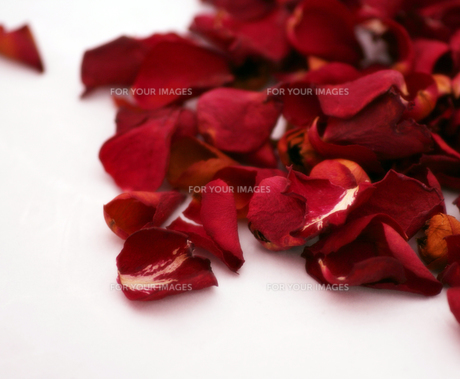 rose petals FYI00701516