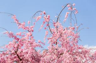 桜 FYI00737413