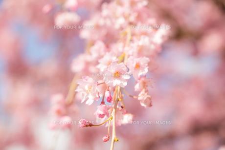 桜 FYI00737415
