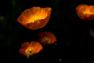 暗闇の中のポピー FYI00737502