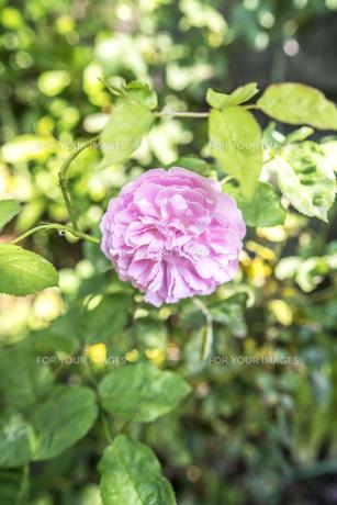 ピンク色の薔薇 FYI00737775