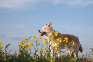 笑顔の犬と青空と菜の花 FYI00737837