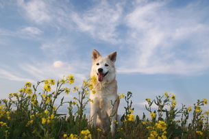 笑顔の犬と青空と菜の花 FYI00737838