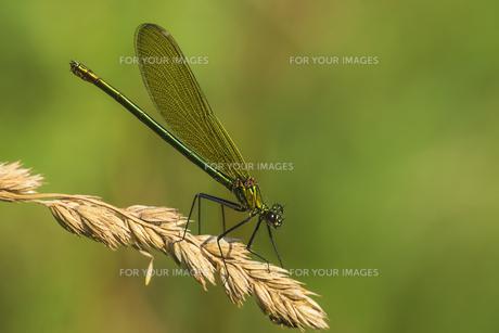 banded demoiselle females FYI00753309
