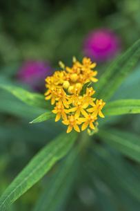 アスクレピアスの花 FYI00766465