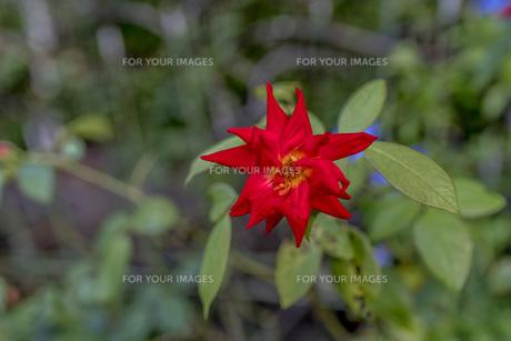 赤い薔薇 FYI00766468
