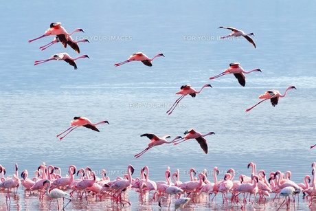Flying flamingo,Flying flamingo FYI00772157