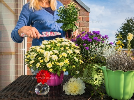 woman planting fall flowers FYI00790403