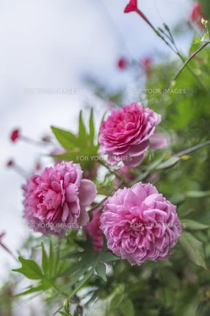 ピンク色の薔薇 FYI00795211