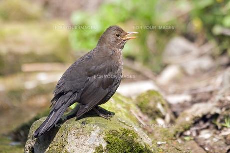 blackbird FYI00798380