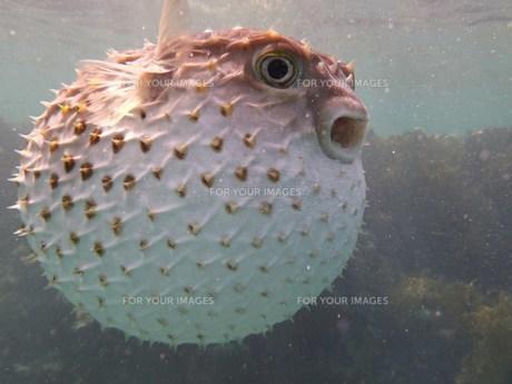 pufferfish FYI00798715