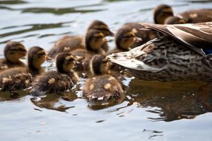 ducklings ii FYI00807955