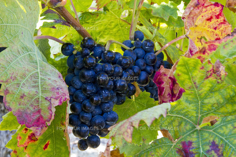 ripe grapes before harvest FYI00821076