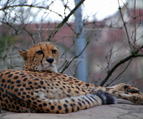 cheetah in the city FYI00838190