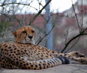 cheetah in the city FYI00838190