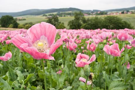opium poppy FYI00855286