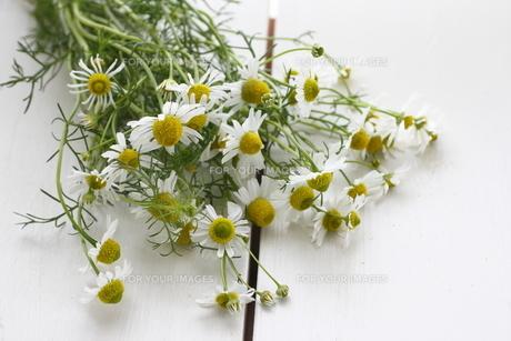 カモミールの花 FYI00885286